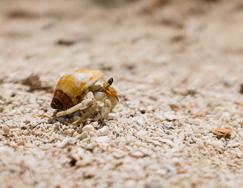 mystery-island-crab