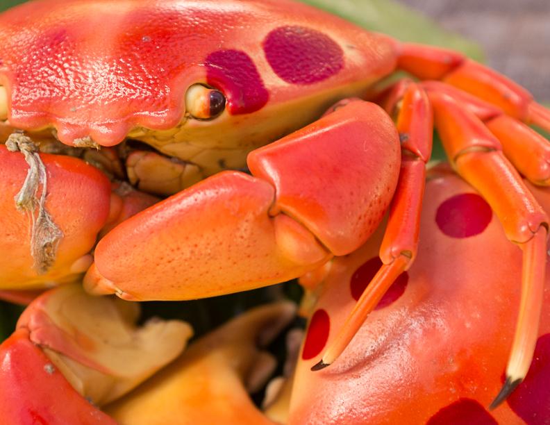 mystery-island-lobster